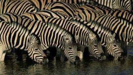 Зебры на водопое. Намибия, Африка