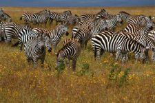 Зебры животные саванны