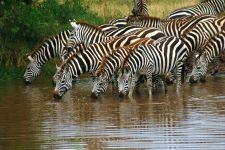 Животные саванны зебра