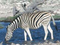 В мире животных зебра