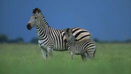 Зебра в животном мире