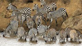 Бурчелловы зебры на берегу реки Мара (Кения)