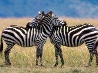 Картинки животных зебра