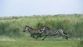Бурчеллова зебра, или квагга - Equus (Hippotigris) quagga