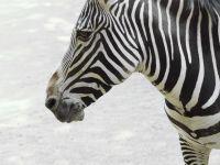 Животные саваны зебра