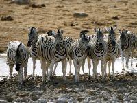 Животное зебра