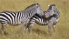 Зебра - животное африканских саванн