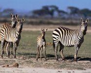 Что едят зебры? Траву