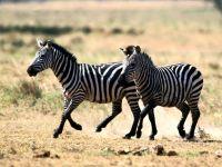 Животный мир Африки - зебры