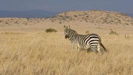 Бурчеллова, или саванная зебра