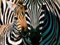 Животные жарких стран зебра