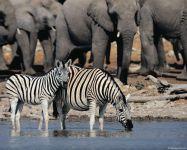 Зебры и слоны около воды