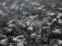 Зебры среди антилоп гну