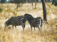 Зебры в сухой траве