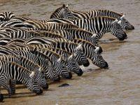 Про зебру