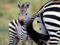 Ребенок зебры