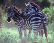 Лошадь зебра