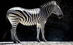 Зебра - это лошадь