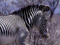 Раскраска зебры