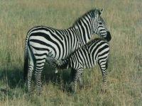 Размеры зебры