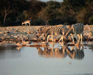 Зебры около воды