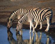Вода и зебры