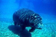 Бегемот (гиппопотам) плывущий под водой