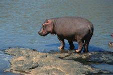Бегемот, или гиппопотам (Hippopotamus amphibius)