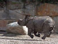 Бегущий носорог