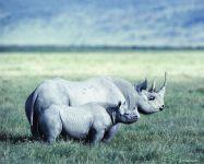 Белые носороги (мать и детеныш)