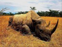 Раненный носорог