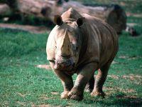 Настороженный черный носорог