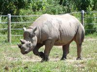 Носорог википедия