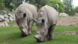 Что едят носороги?