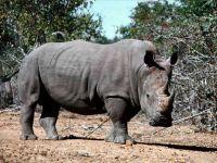 Животное носорог