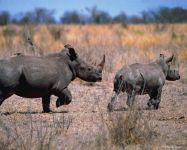 Носорог животное Африки
