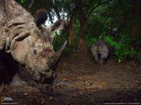 Носорог против носорога