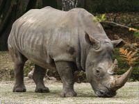 Рог носорога