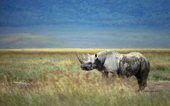 Носороги живут