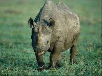 Большой носорог