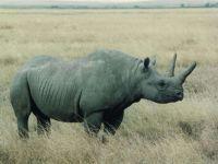 Животное белый носорог