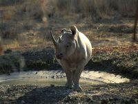 Где живут носороги? В Африке