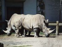 Сколько весит носорог?