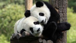Китайские панды две