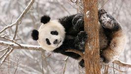 Большая панда (Ailuropoda melanoleuca)