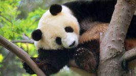 Игры китайские панды