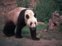 Крадущаяся панда
