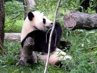 Медведь панда