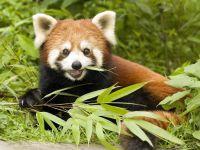 Малая панда (Ailurus fulgens)