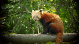 Рыжая панда (Ailurus fulgens)
